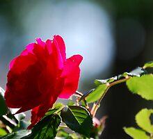Rose Mary by Sunshinesmile83