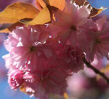 Blossoms against a blue sky by shilohrachelle