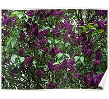 Lilac Tree Poster