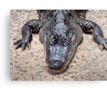 Gator considers next move Canvas Print