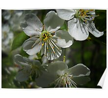 Blooms and Blossoms.Cherry. Poster