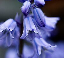 Hyacinthoides hispanica by mikepom