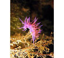 Mediterranean sea slug Flabellina affinis Photographic Print