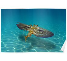 Flying Gurnard fish underwater over sandy seabed Poster