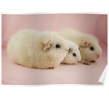 White Guinea Pigs Poster