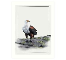 African Fish Eagle on white background Art Print