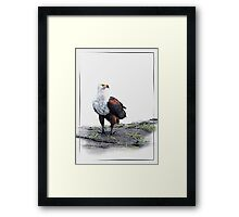 African Fish Eagle on white background Framed Print