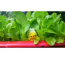 Chick with Herbs Photographic Print