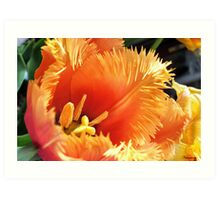 Tulip With A Fringe On Top Art Print