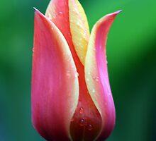 Early Morning Tulip by Rhonda  Thomassen