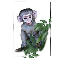 Vervet Monkey baby on white background Photographic Print
