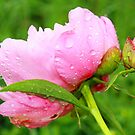 Peonie after the Rain by Susan Blevins
