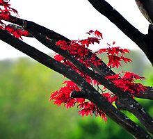 Japanese Red Maple by Corkle
