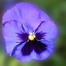 Purple Blotch Pansy by BlueMoonRose