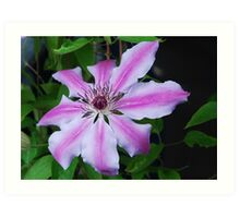 """""""Nelly Moser' Clematis Art Print"""