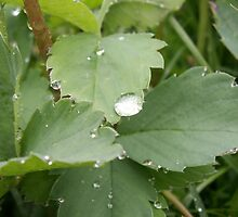 Rain - wild strawberry leaves in the rain by Livingimages