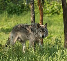 Timber wolf in summer by Josef Pittner