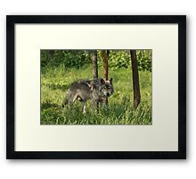Timber wolf in summer Framed Print