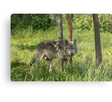 Timber wolf in summer Metal Print