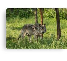 Timber wolf in summer Canvas Print