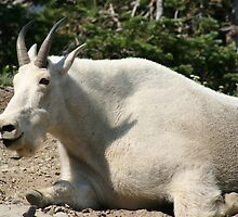 Mountain Goat - Logan pass Glacier National Park by Livingimages