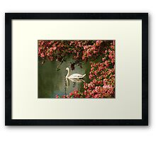 Spring time Swan framed by blossom Framed Print