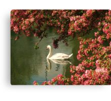 Spring time Swan framed by blossom Canvas Print