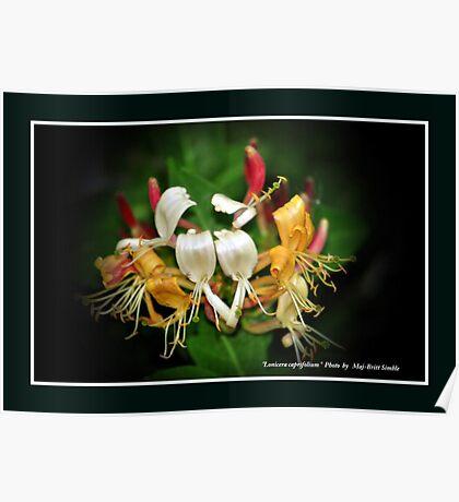 """""""Lonicera Caprifolium"""" Poster"""