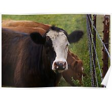 Piebald Faced Cow Poster