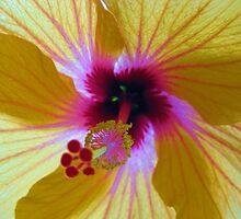 Backlit Hibiscus by Sherilee Evelyn