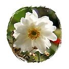 White Beauty - Japanese Anemone by Diane Thornton
