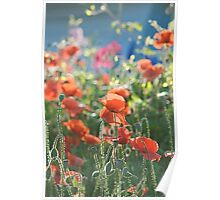Evening Lights the Poppies Poster
