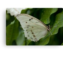 White Morpho Canvas Print