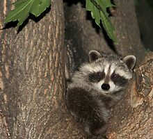 Baby Raccoon by vette