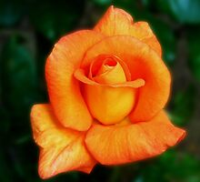 Dreamy Orange Rose by BlueMoonRose