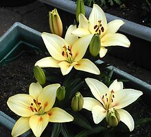 Delicate Creamy Yellow Lily Blossoms and Buds by BlueMoonRose