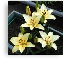 Delicate Creamy Yellow Lily Blossoms and Buds Canvas Print