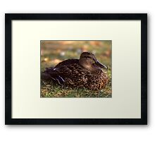 A Duck Framed Print