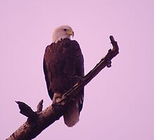 An Eagle at sunset  by SwanSong
