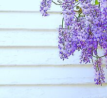 Wisteria by Kenneth Hoffman