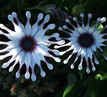 Daisies (6287) by ScenerybyDesign