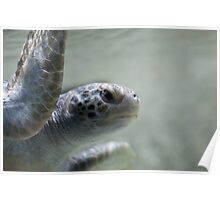 Green sea turtle close-up Poster