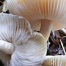 Clitocybe species.  by Esther's Art and Photography