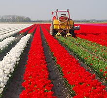 The end of the tulip season......2 by Adri  Padmos