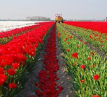 The end of the tulip season.....3 by Adri  Padmos