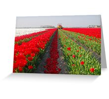 The end of the tulip season.....3 Greeting Card