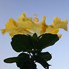 Hibiscus ''Illuminate'' by Anthemis