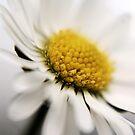 Daisy by kindkurse