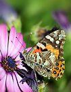 Butterfly on Daisy by yolanda