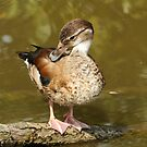 Female Ringed Teal by Robert Abraham